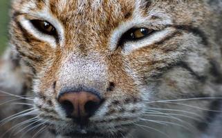 linyx gezicht close-up foto