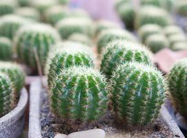 binnenlandse cactus foto