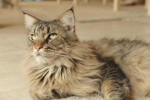 close-up van huiskattenportret foto