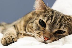 slaperige binnenlandse Cyperse kat in bed