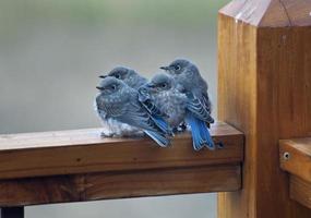 vier babyvogels in de ochtend foto