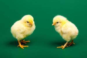 twee kleine kippen op groene achtergrond foto