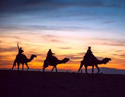 kamelen foto