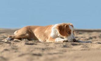 mannelijke Bretonse hond foto