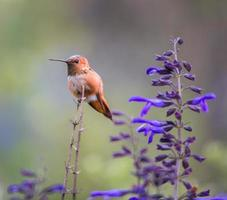 rufus kolibrie mannetje. foto