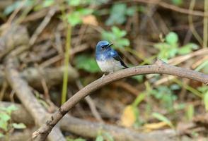 mannelijke hainan blauwe vliegenvanger foto