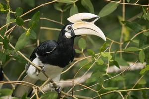 oosterse bonte neushoornvogel (mannelijk)
