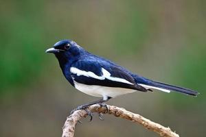 mannelijke oosterse ekster robin