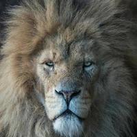 hoofd van mannelijke leeuw