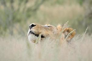 mannetjes leeuw in de kalahari foto