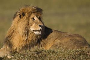portret van een mannetjes leeuw foto