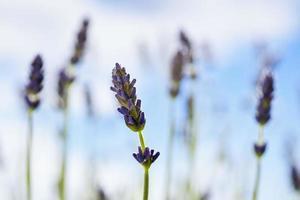 lavendel, medicinale plant foto