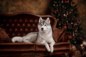 hondenras Siberische husky, portrethond op een studiokleur