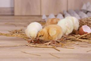 gele en witte kippen