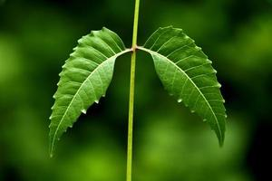 neem bladeren