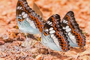 commandant vlinders foto