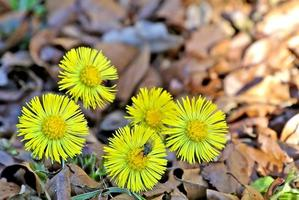hoestkruid, medicinale plant foto