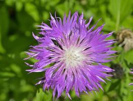 geneeskrachtig kruid (rhaponticum carthamoides) foto