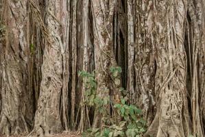 gedraaide wijnstok in de jungle foto