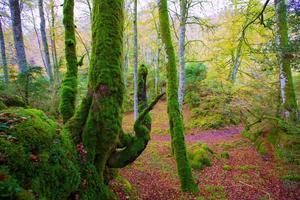 herfst selva de irati beuken jungle in Navarra Pyreneeën Spanje