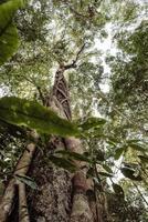 hoge boom met parasiet in een jungle van thailand foto
