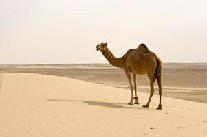 woestijn kameel foto