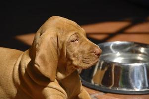 portret van vizsla puppy met water kom op de achtergrond foto