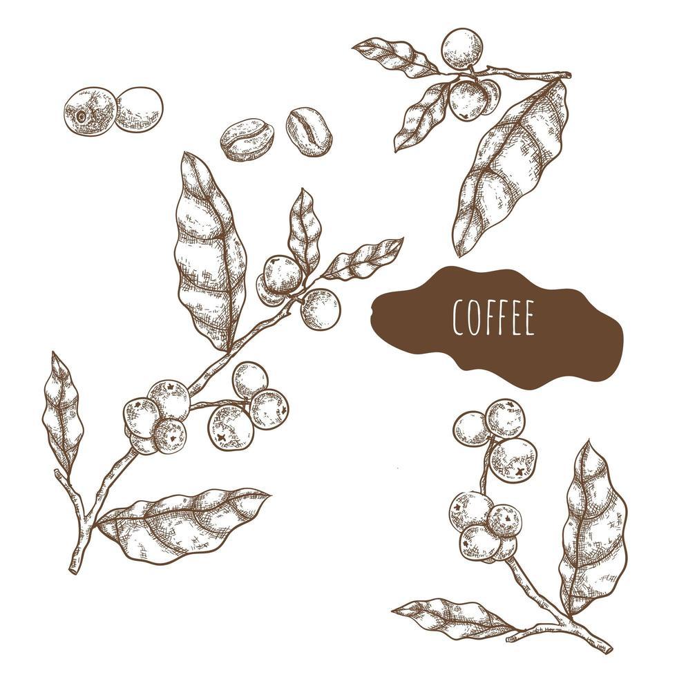koffiezaad en bladeren hand getrokken set vector