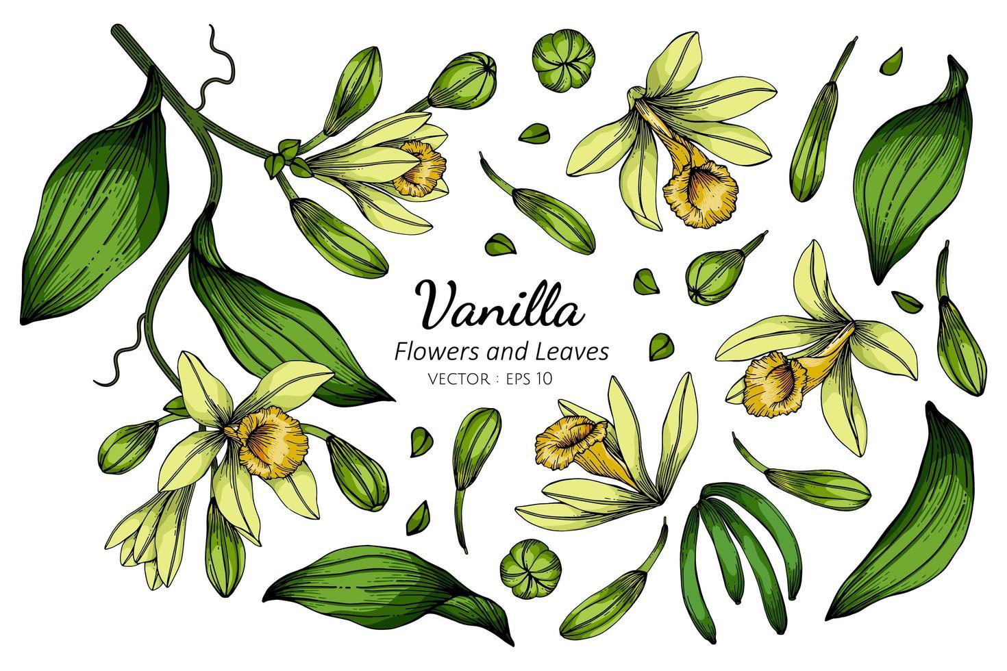 set vanille bloem en blad tekenen vector