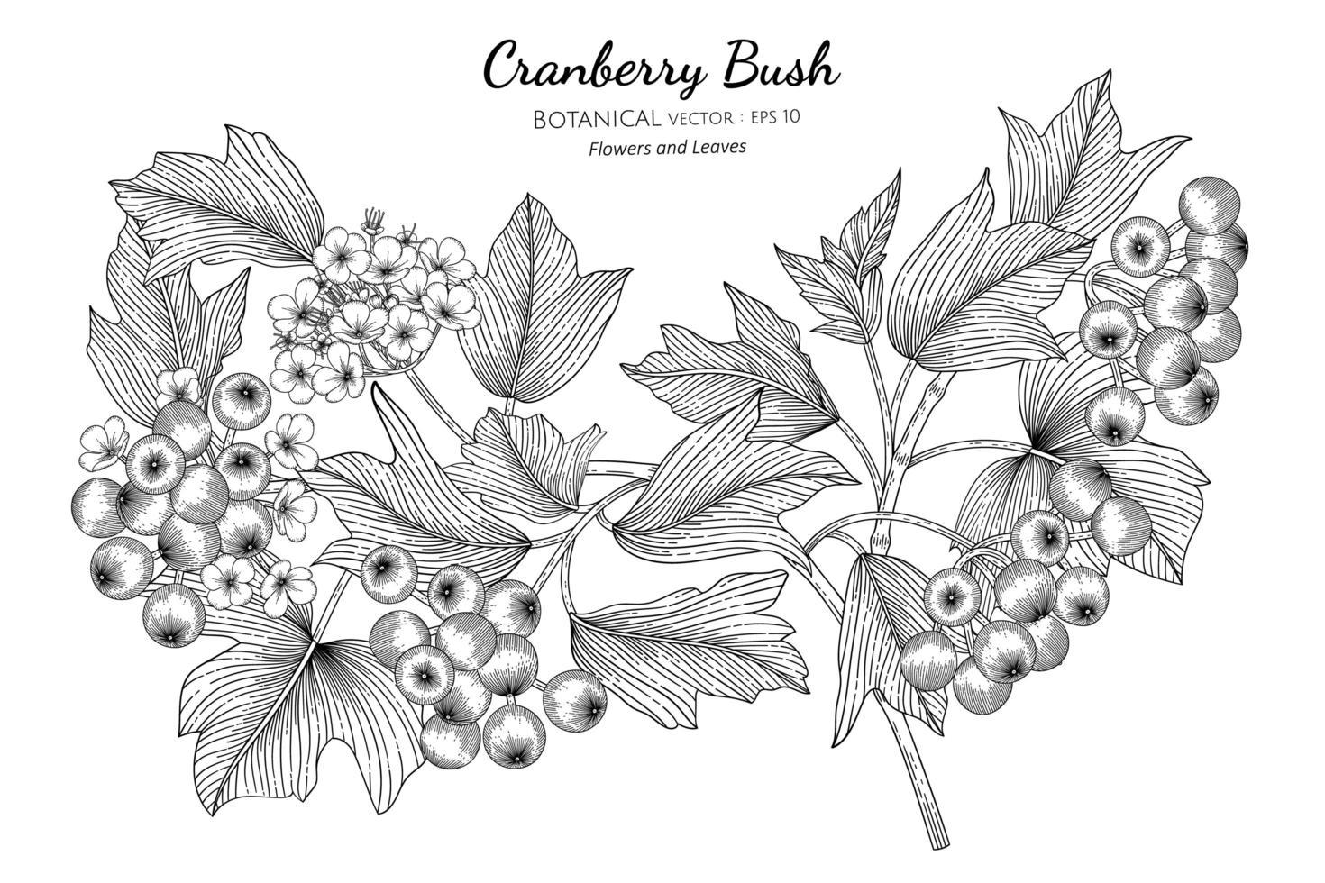 hand getekende Amerikaanse cranberry bush vector
