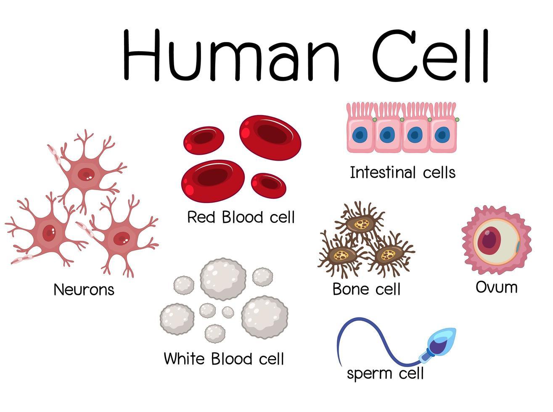 menselijke cel diagram ontwerp vector