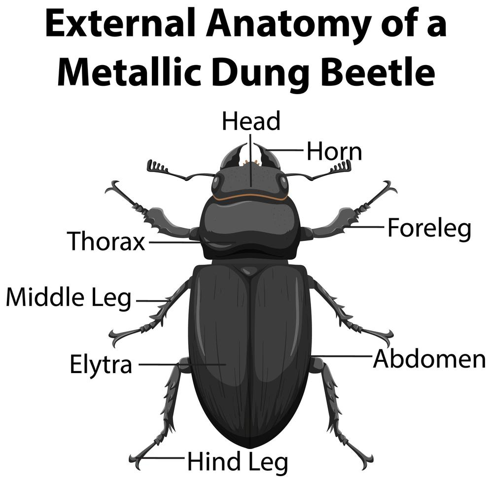 externe anatomie van een metalen mestkever vector