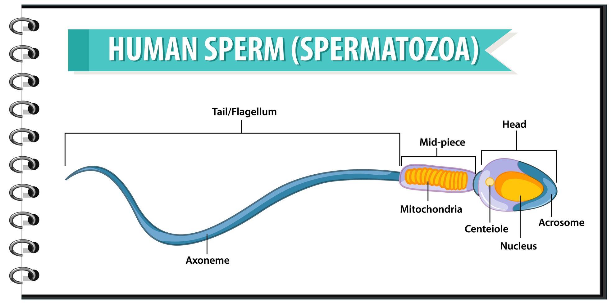 celstructuur van menselijk sperma of spermatozoa vector