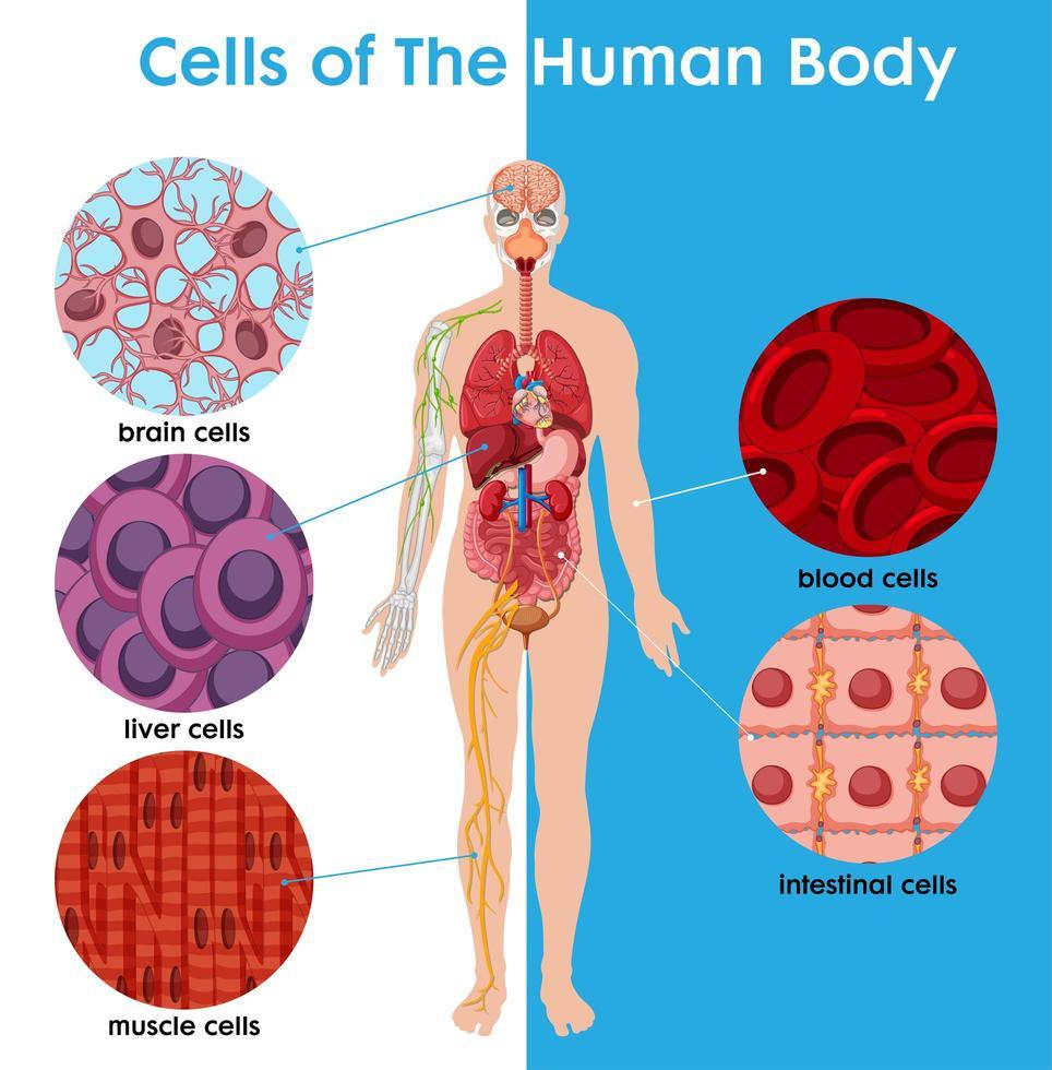 cel van het menselijk lichaam poster vector