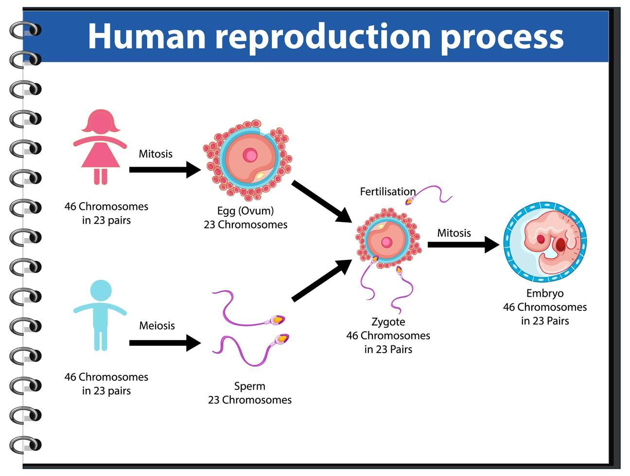 reproductieproces van menselijke infographic vector