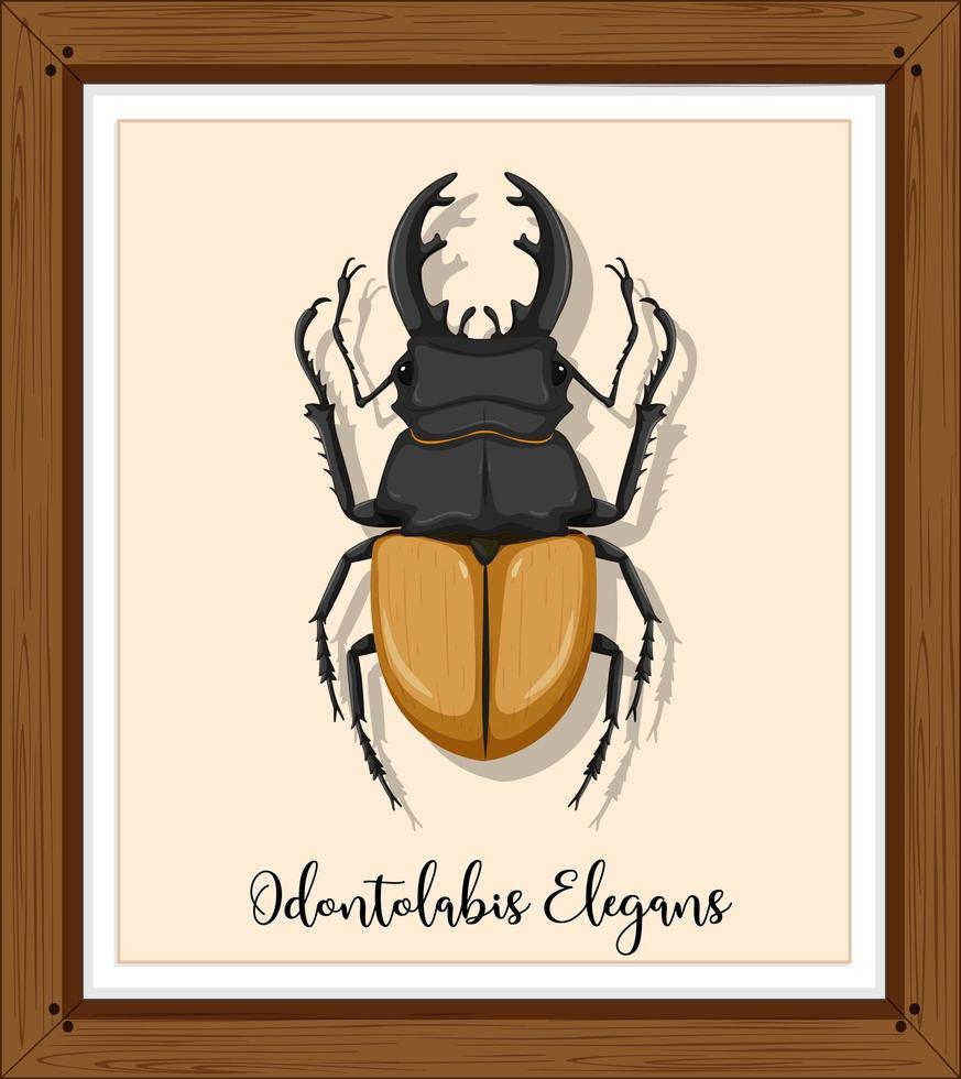 odontolabis elegans in houten frame vector