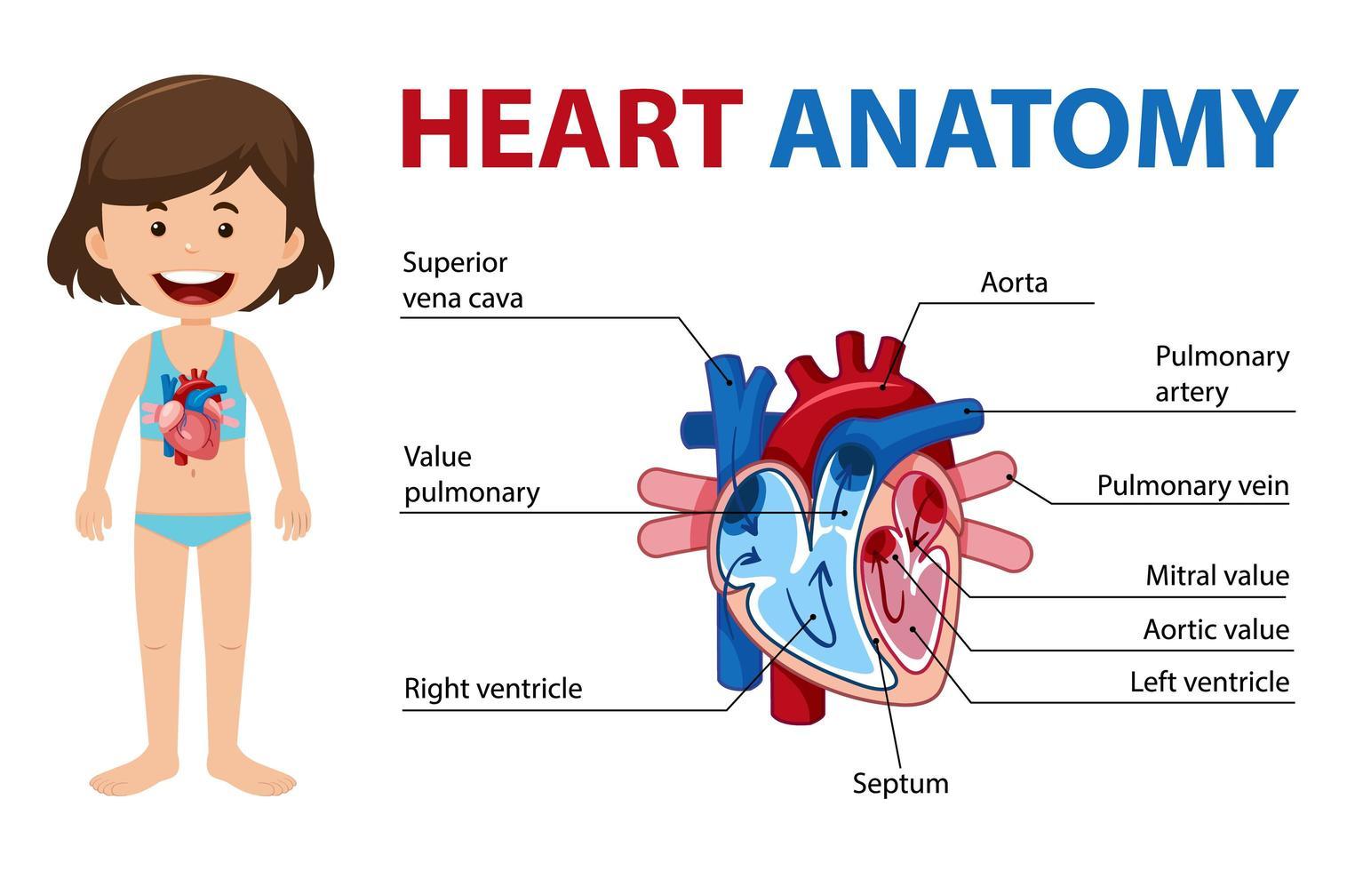 informatie poster van menselijk hart diagram vector