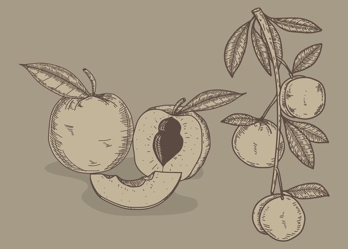 Perzik Hand getrokken illustratie Vector
