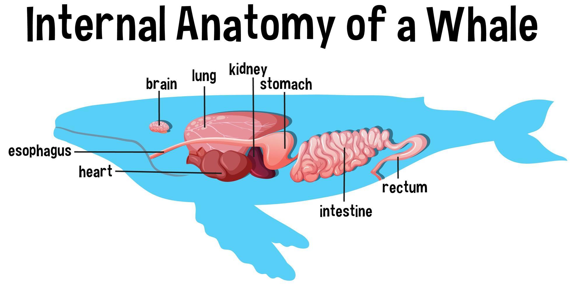 interne anatomie van een walvis met label vector