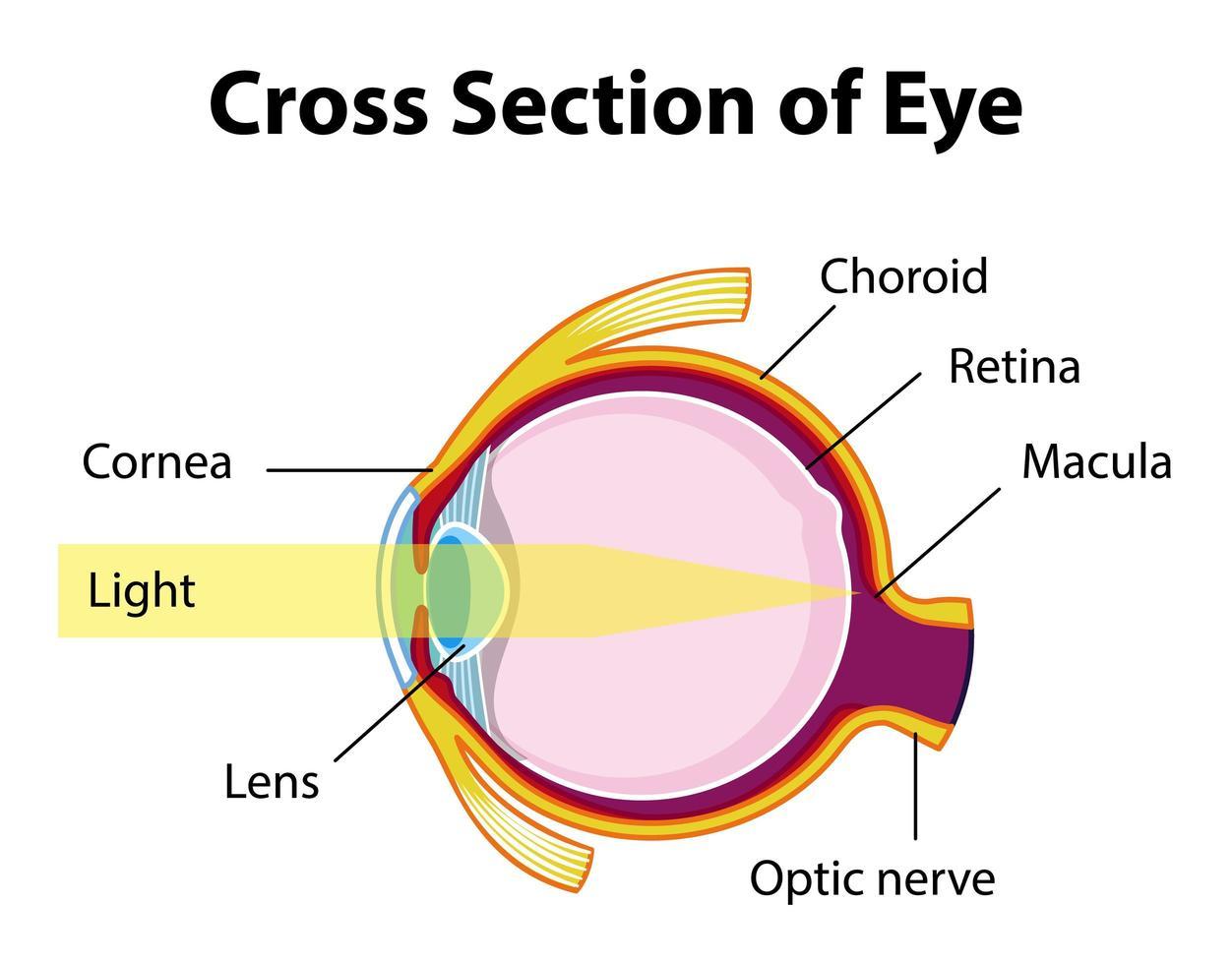 menselijk ooganatomie met dwarsdoorsnede van oogdiagram vector