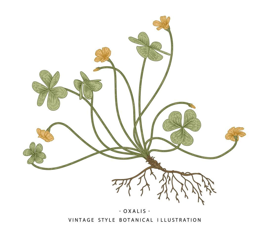 klaverzuring of oxalis acetosella handgetekende botanische illustraties. vector