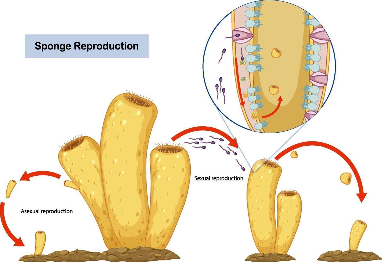 ongeslachtelijke en seksuele reproductie van sponzen diagram vector