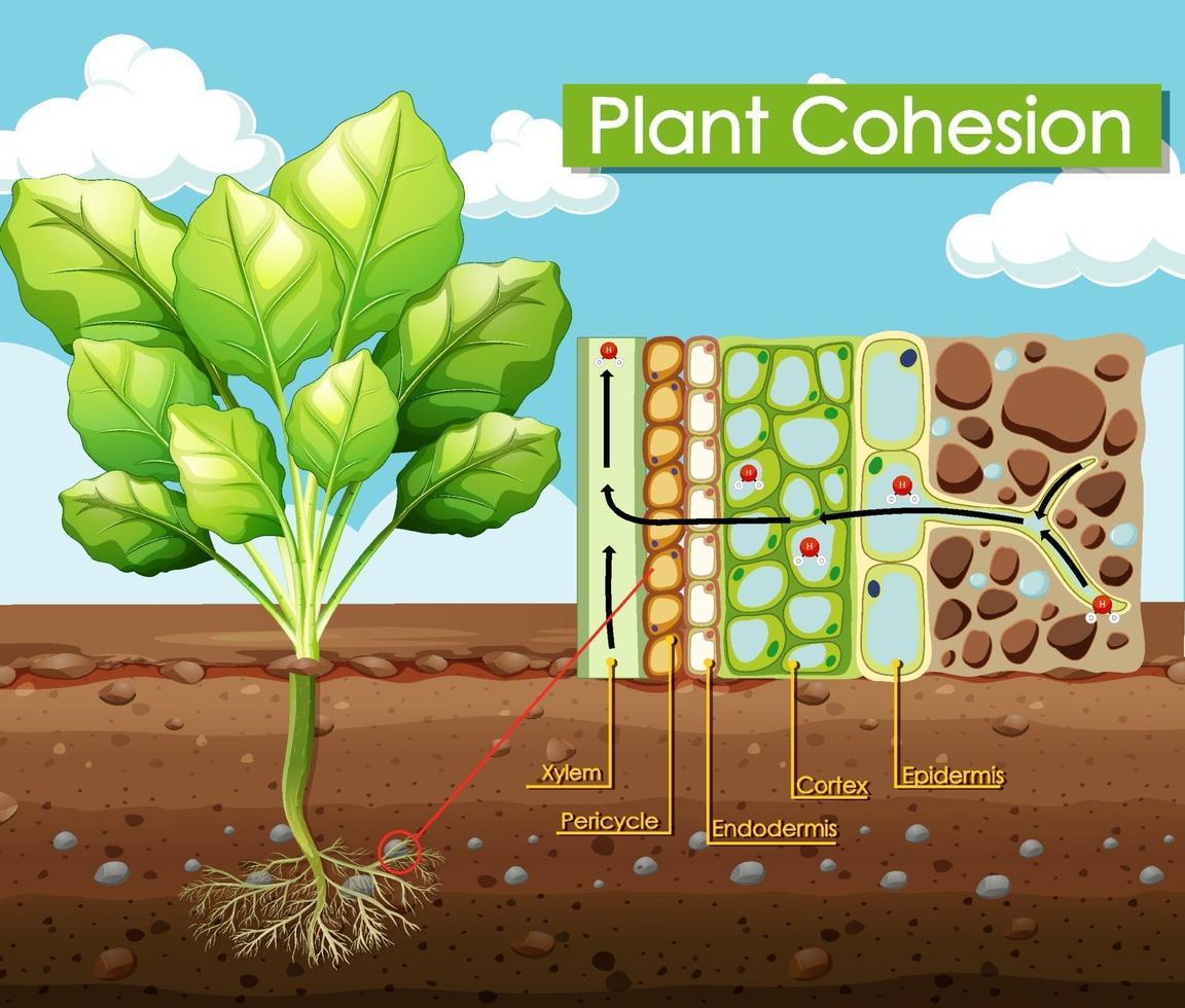 diagram dat plantcohesie toont vector