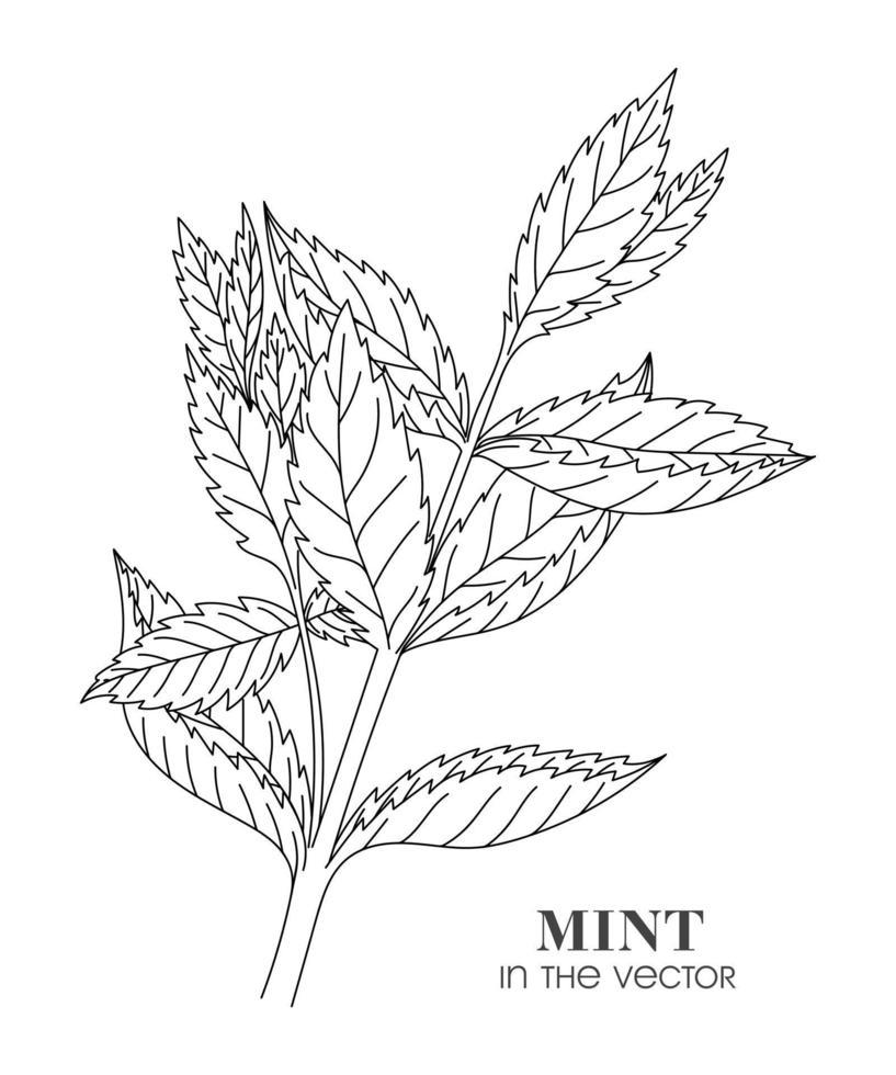 schets van een takje munt op een witte achtergrond vector