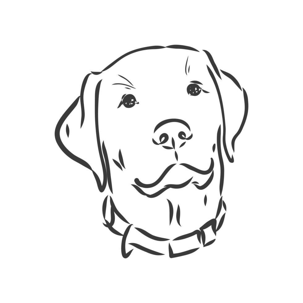vector afbeelding van een hond labrador op witte achtergrond. labrador vector schets op een witte achtergrond