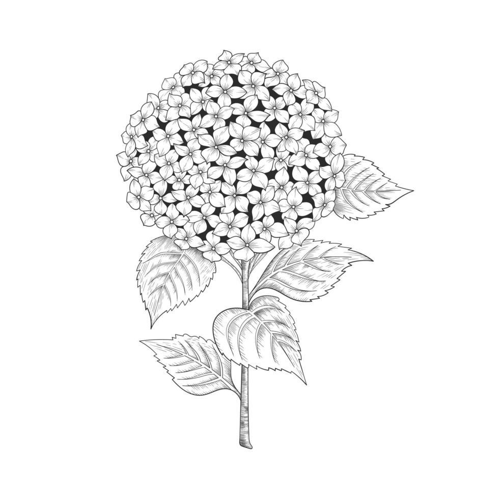 hand getrokken hortensia bloemen en bladeren tekening illustratie geïsoleerd op een witte achtergrond. vector
