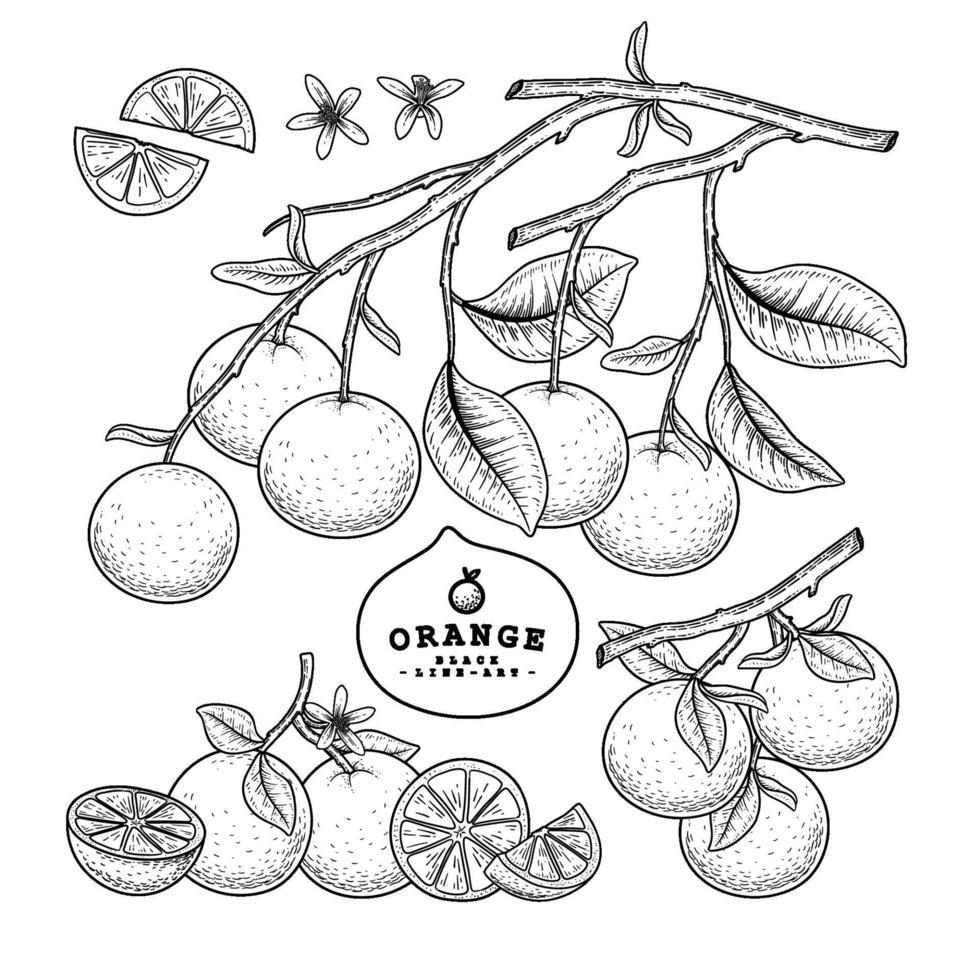 hele helft en plakje sinaasappel citrusvruchten hand getrokken schets vector
