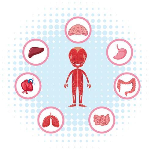 Menselijke anatomie met verschillende organen op poster vector