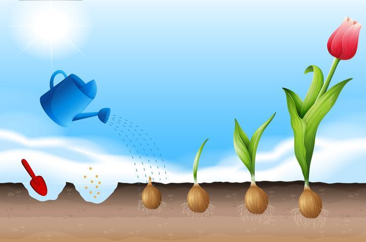 Een proces van het planten van tulp vector