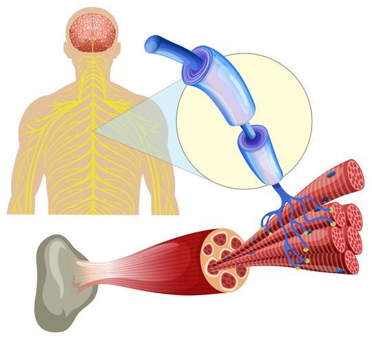Menselijke gezonde spierzenuwen vector